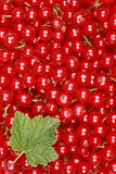 Fresh red currants Stock Photography