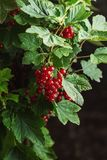 Fresh red currants on branch with leaves in garden, fresh fruit product photography Stock Image