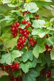 Fresh red currants on branch with leaves in garden, fresh fruit product photography Stock Photos
