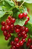 Fresh red currants on branch with leaves in garden, fresh fruit product photography Royalty Free Stock Photo