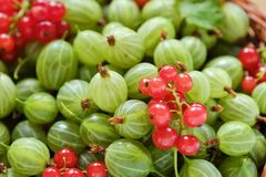 Fresh red currants and gooseberry macro photo Royalty Free Stock Photos