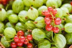 Fresh red currants and gooseberry macro photo Royalty Free Stock Images