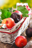 Fresh red and damson plums in basket Royalty Free Stock Images