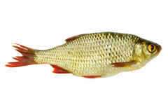 Fresh red-eye fish Royalty Free Stock Image