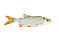Fresh red-eye fish isolated Stock Images
