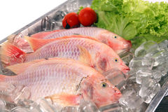 Fresh Red fish Stock Image