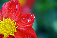 Fresh red flower leafts with drops of summer rain. A fresh red blossom after a spring rain. Raindrops are sitting on the petals Stock Photos