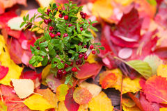 Fresh red forest cranberries in pot fall leaves wooden background autumn Stock Photo
