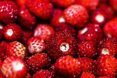 Fresh red forest strawberry Stock Photography
