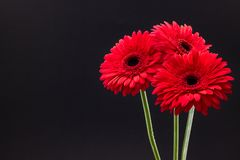 Fresh red gerbera closeup on dark background floral background royalty free stock images