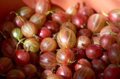 Fresh red  gooseberry Stock Image