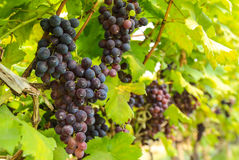 Fresh red grape. In the vineyard Royalty Free Stock Image