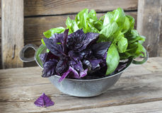 Fresh red and green basil in a strainer Stock Photography