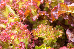 Fresh red green salad lettuce Royalty Free Stock Photo