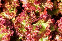 Fresh red green salad lettuce Stock Photos