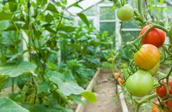 Fresh red and green tomatoes hanging on plant. Tomatoes growing in film greenhouses. Fresh red and green tomatoes hanging on plant Royalty Free Stock Photos