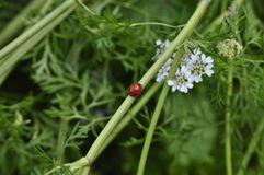 Fresh and red ladybird on stem of parsley flower stem royalty free stock photo