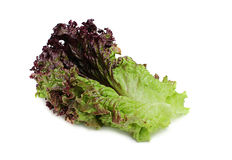 Fresh red leaf lettuce. Royalty Free Stock Photo