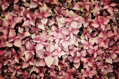 Fresh red leaves spinach or red spinach Royalty Free Stock Photography