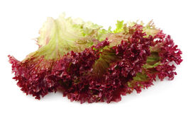 Fresh red lettuce Royalty Free Stock Photography