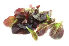 Fresh red lettuce Stock Photography