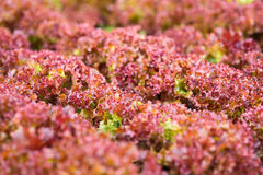Fresh red lettuce Stock Image