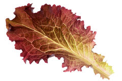 Fresh red lettuce leaf Royalty Free Stock Images