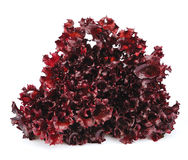 Fresh red lettuce salad Stock Photography