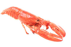 fresh red lobster Royalty Free Stock Photo