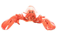 fresh red lobster Royalty Free Stock Photography