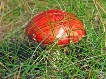 Fresh red mushroom, green grass, nature closeup, Royalty Free Stock Photos