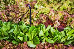 Fresh red oak lettuce and cos lettuce. Stock Photo