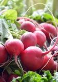 Fresh red  organic radish and parsley. Pic of Fresh red radish Stock Photos
