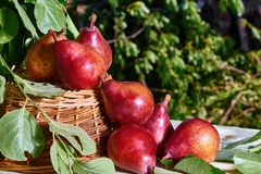 Fresh, red pears in a basket with a background of fresh, green leaves on a branch royalty free stock photo