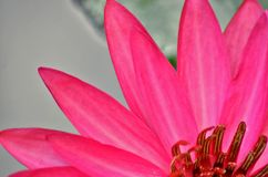 Fresh red petal of water lily flower Stock Photos
