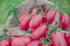 Fresh red plum tomatoes. Red tomatoes of oval shape. Ripe long plum tomatoes Royalty Free Stock Photo
