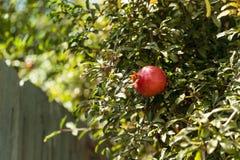 Fresh red pomegranate fruit. Punica granatum in summer Stock Image