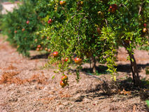 Fresh red pomegranate growing on the tree Royalty Free Stock Images