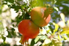 Fresh red pomegranats growing on a tree. Royalty Free Stock Photos