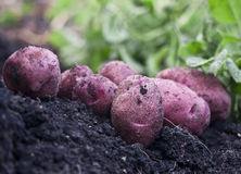 Fresh red potatoes Stock Photos