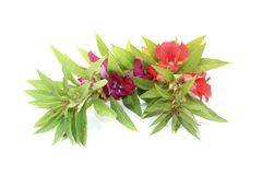 Fresh red and purple Balsam Royalty Free Stock Photos
