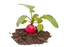 Fresh red radish Royalty Free Stock Photography