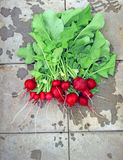 Fresh red radish with leaves. After harvest Royalty Free Stock Photo