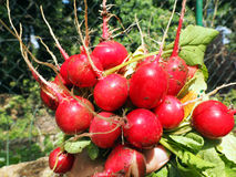 Fresh red radish. Organic vegetables. Farmers hands with freshly harvested vegetables. Horse radish Stock Photo