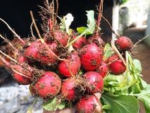 Fresh red radish Royalty Free Stock Photo