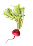 Fresh red radish on white. Fresh red radish isolated on white Royalty Free Stock Image