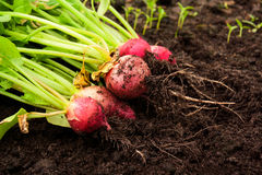 Fresh red radishes in the garden. Selective focus Royalty Free Stock Images