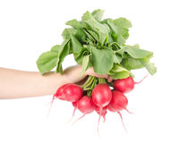 Fresh Red Radishes with Green Leaves. Hand Holding Bunch of Fresh Radishes Isolated on White Background Royalty Free Stock Photo