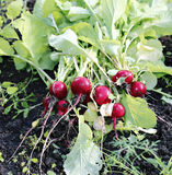 Fresh red radishes with leaves. Growing in the garden Royalty Free Stock Photos