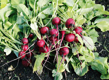 Fresh red radishes with leaves. Growing in the garden Stock Photography